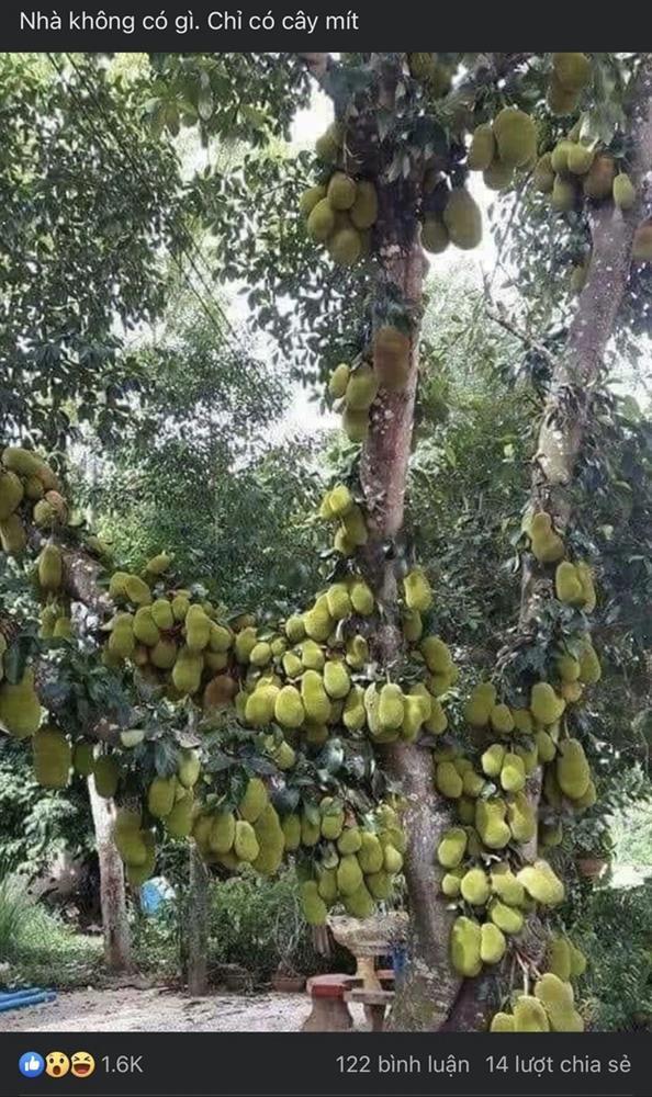Sửng sốt cây mít cổ thụ cho nhiều quả bậc nhất Việt Nam-1