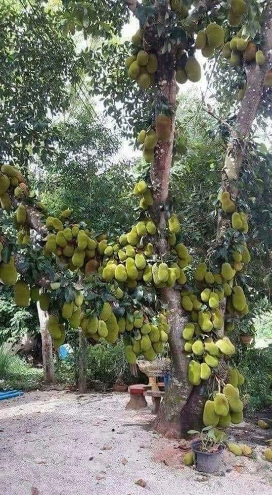 Sửng sốt cây mít cổ thụ cho nhiều quả bậc nhất Việt Nam-2