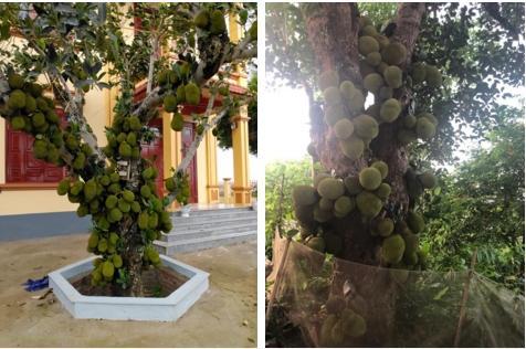 Sửng sốt cây mít cổ thụ cho nhiều quả bậc nhất Việt Nam-4