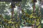 Sửng sốt cây mít 'cổ thụ' cho nhiều quả bậc nhất Việt Nam