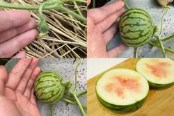 Cố trồng dưa hấu tại nhà, chủ nhân hí hửng bổ ra và bị 'ném đá' bởi lý do này