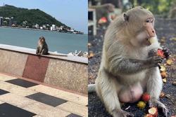 Đàn khỉ xuất hiện trên đường phố Vũng Tàu