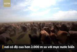 Hàng nghìn con ngựa phi nước đại trên thảo nguyên