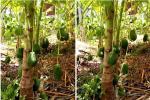Cây đào đột biến cho hàng trăm quả mọc kín từ thân lên đến cành-5
