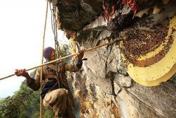 Liều mình săn 'mật ong điên' trên vùng núi Nepal