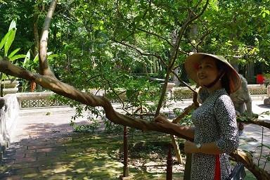 Chuyện kỳ bí về cây lim hoá thân và cây ổi cười ở đất thiêng Lam Kinh-6