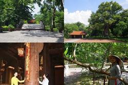 Chuyện kỳ bí về 'cây lim hoá thân' và 'cây ổi cười' ở đất thiêng Lam Kinh