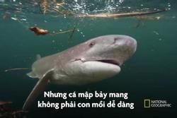 Đàn cá voi sát thủ săn cá mập bảy mang ở New Zealand