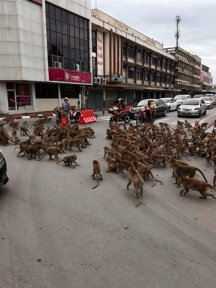 Giãn cách Covid-19, khỉ xâm chiếm thành phố, người dân sợ hãi trốn tiệt-1