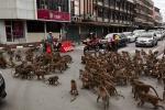 Giãn cách Covid-19, khỉ xâm chiếm thành phố, người dân sợ hãi trốn tiệt