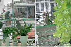 Clip: Khỉ đói ở Vũng Tàu leo dây điện nhảy vào nhà dân ăn sạch rau quý