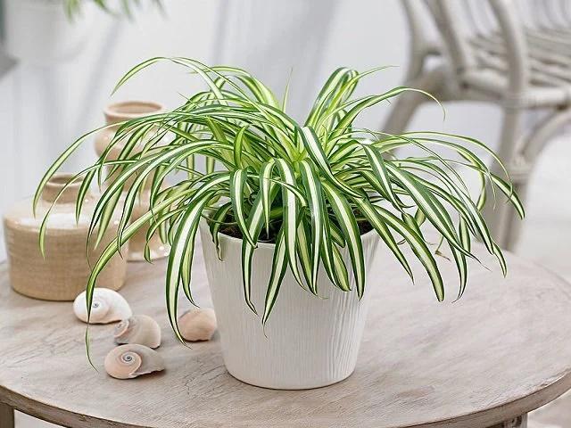 6 loại cây trồng trong nhà hút sạch chất độc hại, nâng cao sức khỏe-1
