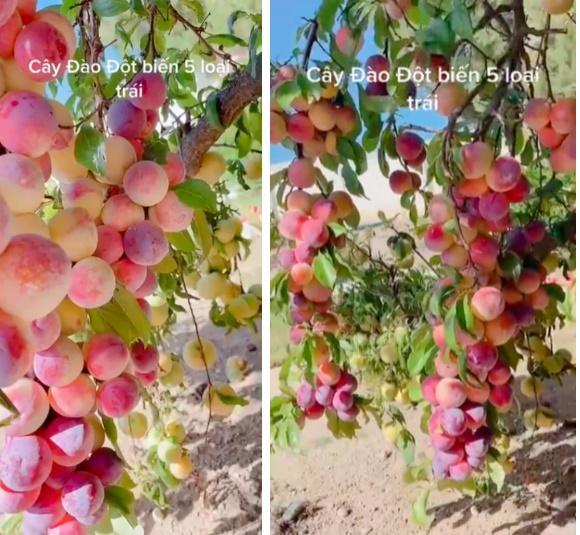 Cây đào đột biến cho hàng trăm quả mọc kín từ thân lên đến cành-1