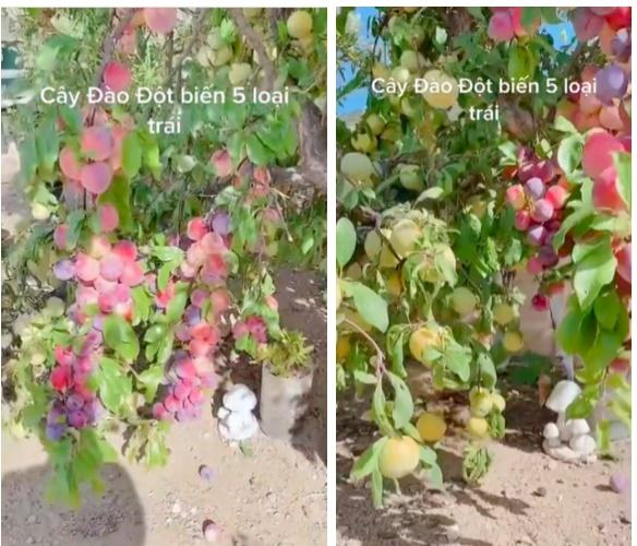 Cây đào đột biến cho hàng trăm quả mọc kín từ thân lên đến cành-2