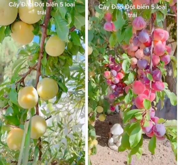 Cây đào đột biến cho hàng trăm quả mọc kín từ thân lên đến cành-3