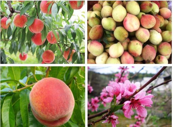 Cây đào đột biến cho hàng trăm quả mọc kín từ thân lên đến cành-4