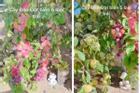 Cây đào 'đột biến' cho hàng trăm quả mọc kín từ thân lên đến cành
