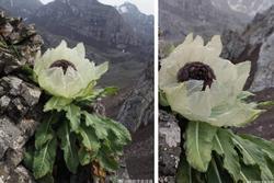 Loài hoa ví như tiên dược, giới nhà giàu Việt bằng mọi cách săn lùng