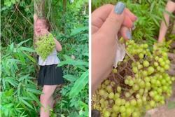 Cô gái hí hửng hái quả lạ, dân miền núi nhìn phát đoán ra luôn!