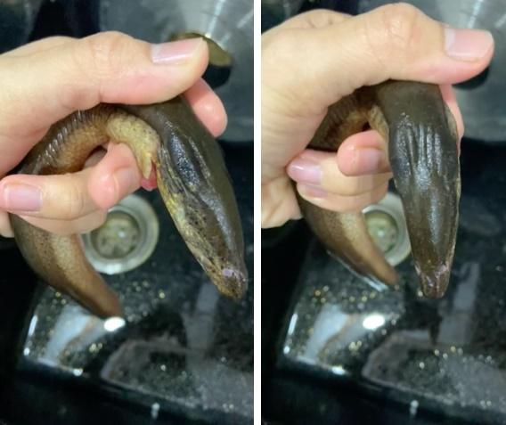 Mua lươn phát hiện chi tiết lạ, cô gái vứt đi rồi hỏi: Ăn được không?-2