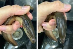 Mua lươn phát hiện chi tiết lạ, cô gái vứt đi rồi hỏi: Ăn được không?