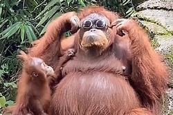 Đười ươi thử kính râm thu hút 36 triệu lượt xem