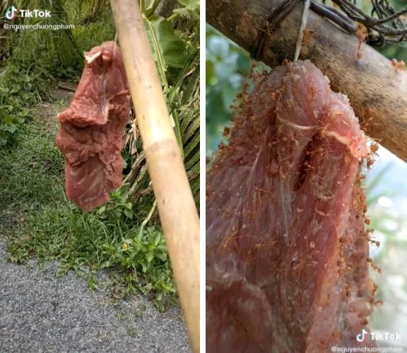 Đặc sản rất dị ở Việt Nam: Thịt bò treo lên cây, đợi kiến bu đầy mới ăn-1