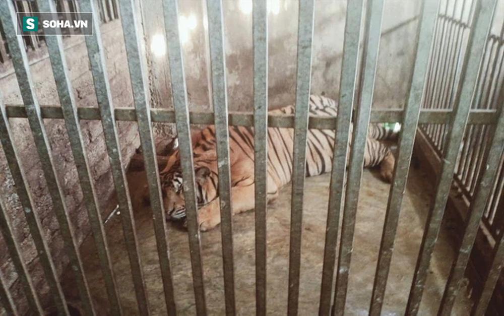 Cận cảnh chuồng trại nuôi nhốt 17 con hổ vừa bị công an triệt phá-4