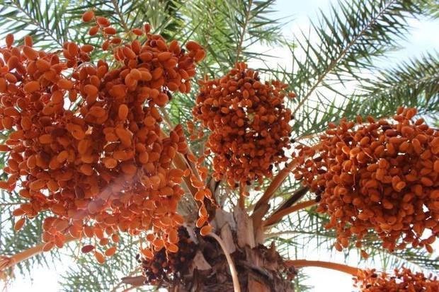 Loại quả giới nhà giàu Dubai quý như vàng, Việt Nam cũng có nơi trồng-1