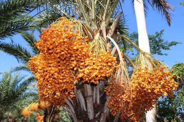 Loại quả giới nhà giàu Dubai quý như vàng, Việt Nam cũng có nơi trồng-4