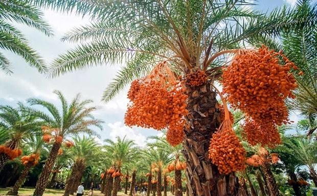 Loại quả giới nhà giàu Dubai quý như vàng, Việt Nam cũng có nơi trồng-5
