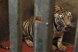 8 trong số 17 con hổ chết sau vụ phát hiện nuôi nhốt trái phép