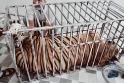Vụ 8/17 con hổ chết sau khi được giải cứu khỏi nhà dân: 9 con còn lại rất yếu