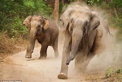 Giận dữ bởi tiếng la hét, voi hoang dã giẫm chết người