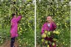 Cây táo 'đẻ' nhiều nhất thế giới, dân mạng kêu 'vỡ kế hoạch' rồi!