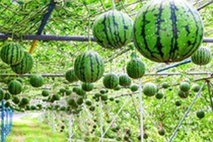 Cách người Nhật trồng loại dưa hấu đắt nhất hành tinh