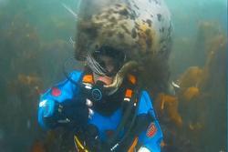 Hải cẩu hoang dã ôm thân mật thợ lặn
