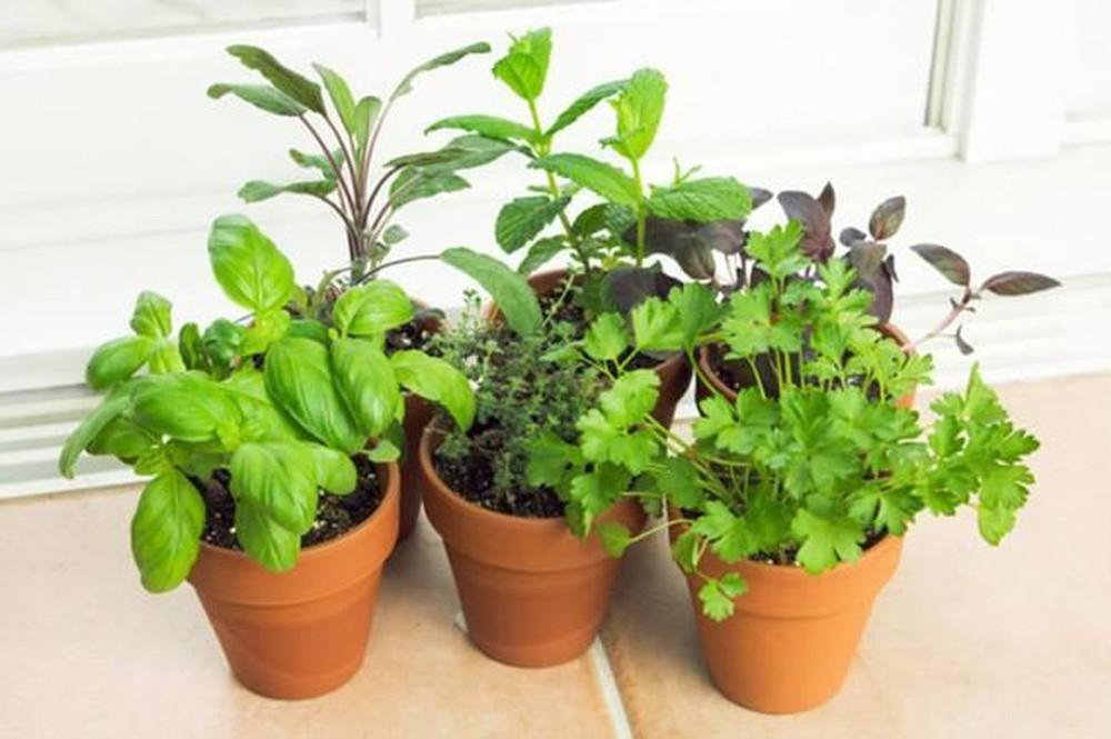 6 loại cây trồng trong bếp khử mùi cực sạch, hút tài lộc vào nhà-3