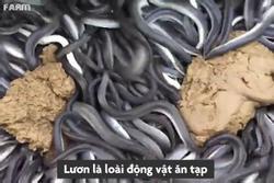 Trang trại nuôi lươn ở Nhật Bản