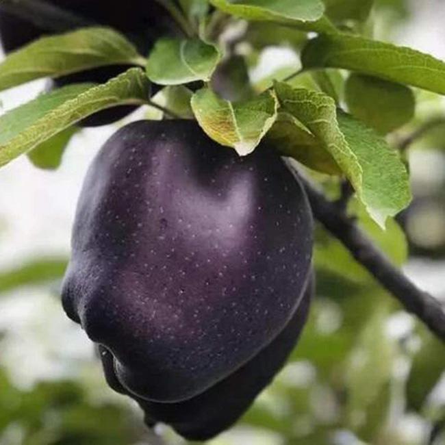 Tận mục giống táo ví như kim cương đen, nửa triệu đồng/quả-1