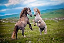 Nơi ngựa hoang thu hút du khách nhưng bị người dân ghét