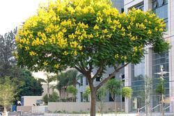 6 loại cây bóng mát, ít rụng lá thích hợp trồng trước nhà