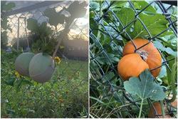 Hóa ra rau củ trong vườn cũng biết 'làm trò', xem mà cạn lời