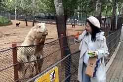 Lạc đà nhổ nước bọt vào nữ du khách ở Trung Quốc