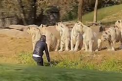 Thăm quan safari, khách du lịch nhảy xuống xe lao về phía hổ dữ
