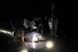 Rùa biển quý hiếm nặng 120 kg mắc lưới ngư dân Quảng Bình